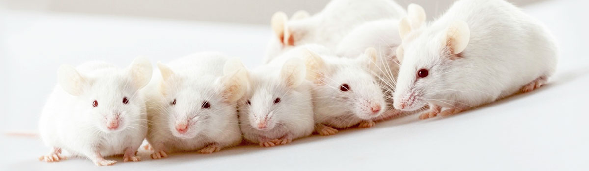 white experimental mice used for animal testing in a clean white environment