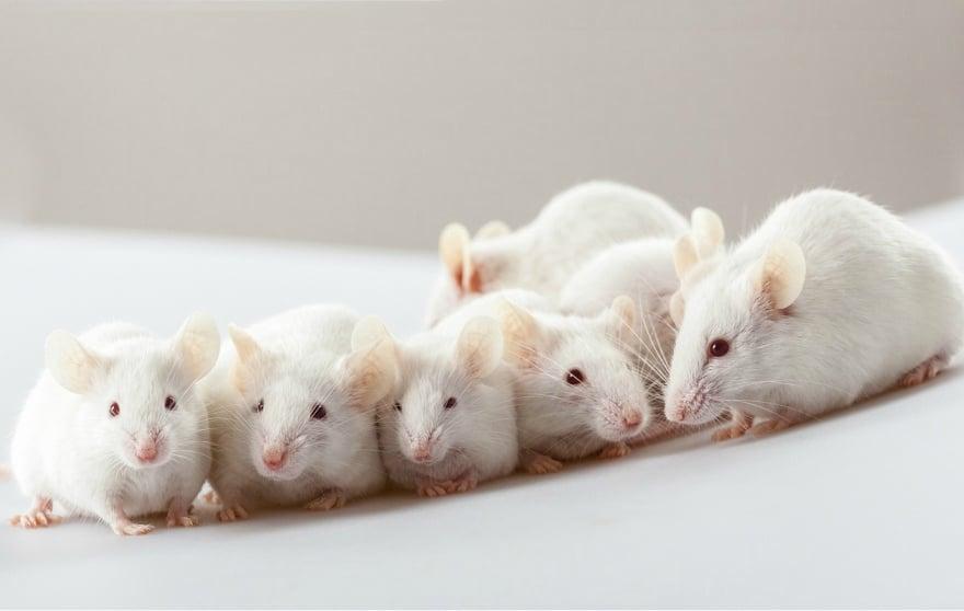 micro-blood-sampling-labortory-animals