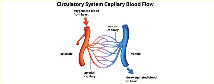 Illustration of the circulatory system showing the flow of capillary blood