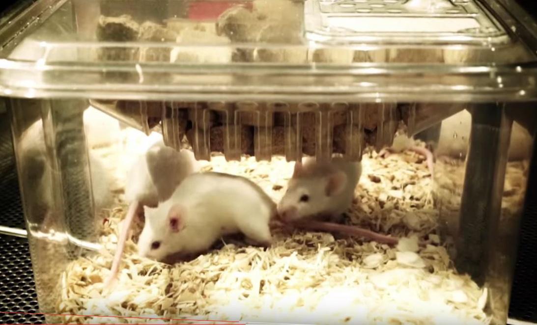 lab-mice.jpg